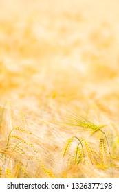 Single grain ear at golden field background (copy space)