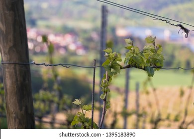 single Grapevine in the vineyard at spring time on a sunny morning on a Close up