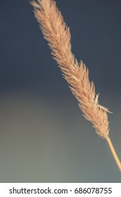 Single grass stalk