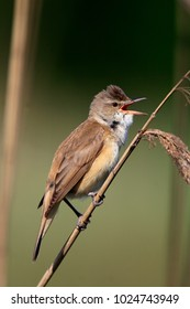 Single Great Reed Warbler on a reed stem during a spring period