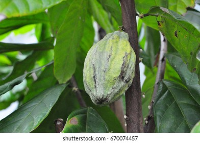 a single green cocoa fruit shaded by leaves of cocoa tree