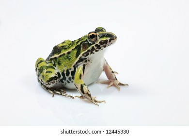 Single Green Frog Isolated on White Background