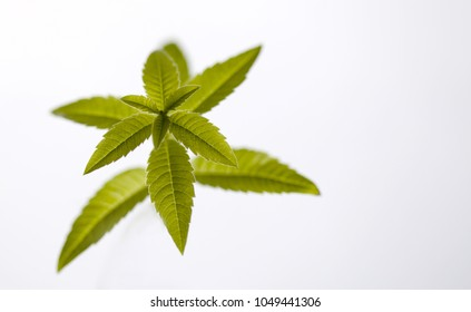 A single green herb petals on white background