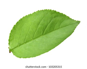 Single green leaf of apple-tree. Isolated on white background. Close-up. Studio photography.