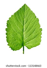 A single green leaf close up isolated on the white background