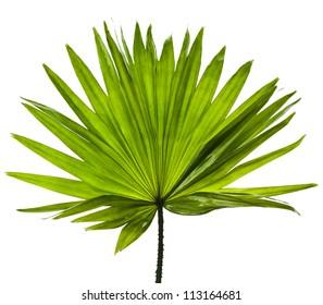single green palm leaf (Livistona Rotundifolia palm tree) close up surface  isolated