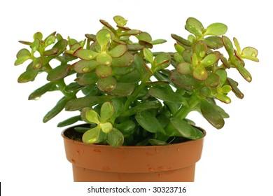Single green succulent plant  macro