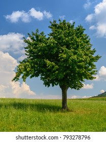 Single green tree on Green field in spring
