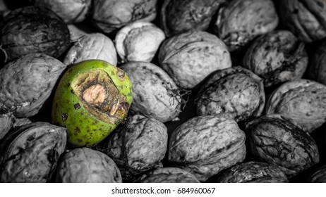 Single green walnut