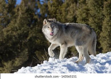 Single Grey Wolf in snow