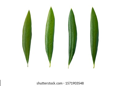single group of green fresh olive leaves in isolated white background with clipping path