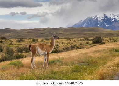 Single guanaco (Lama guanicoe) with mountain on background in Torres del Paine national park, Patagonia, Chile