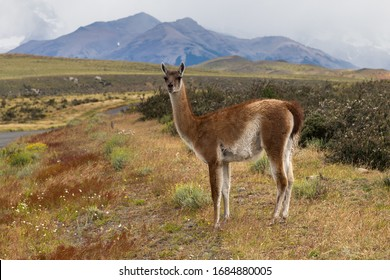 Single guanaco (Lama guanicoe) near a road in Torres del Paine national park, Patagonia, Chile