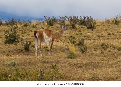 Single guanaco (Lama guanicoe) in Torres del Paine national park, Patagonia, Chile