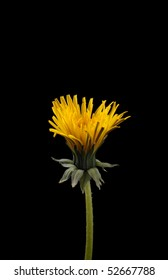 Single half open dandelion isolated on black with room for copy