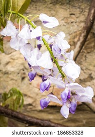 Single hanging wisteria bloom with rain drops on the petals