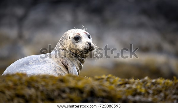 Single Harbour seal sitting on a green plant covered rock by the ocean.