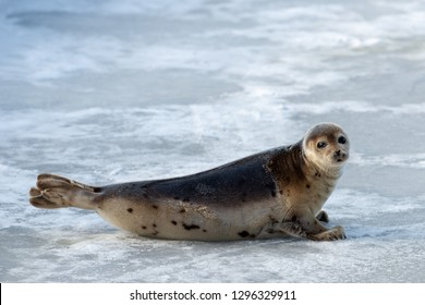 A single harp seal, saddleback, poses on ice and snow. The young seal with dark eyes, earless and a heart shaped nose is up on its flippers. Its fur is tan with dark spots and a dark fur coat.