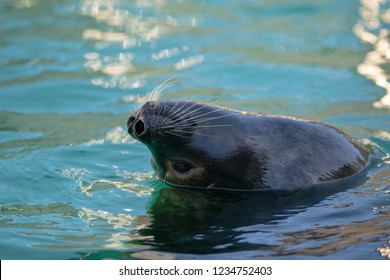 A single harp seal swims on its back with its head above the cold Atlantic Ocean. The seal has long whiskers and large nostrils. The seal has its dark eyes open.