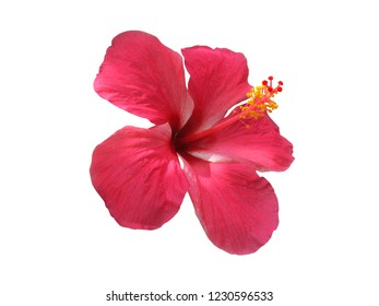 Single of Hibiscus flower or Chinese rose ,Hawaiian flower shue flower isolated on white background