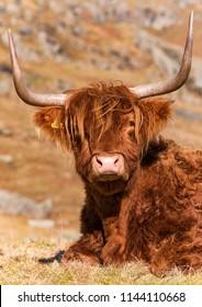 Single Highland Cow