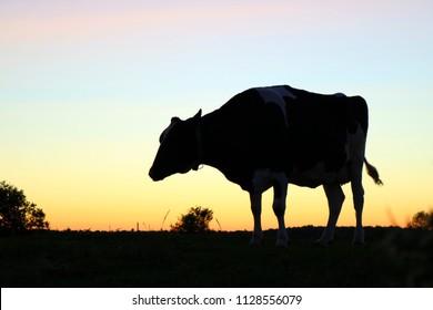 Single Holstein Cow on Pasture at Dusk