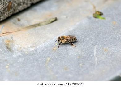 Single honey bee