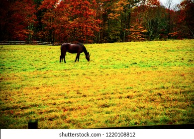 A single horse eating grass in a green wet field in the Fall foliage season in New England.