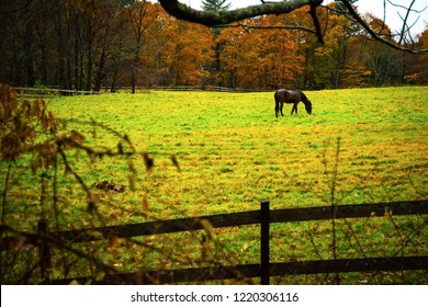 A single horse grazes in a green field during the fall foliage season in Maine.