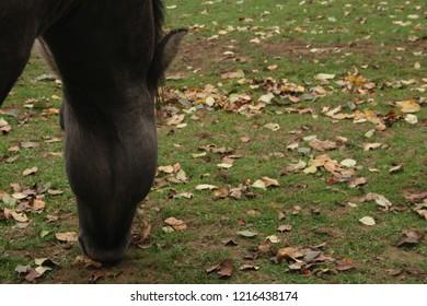 Single horse grazing in a field close up