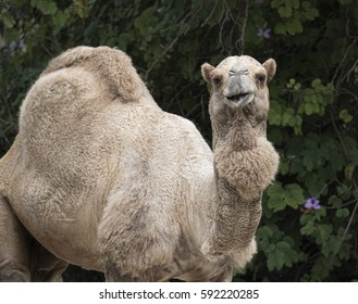 Single humped dromedary camel smiling in front of a green leafy tree.