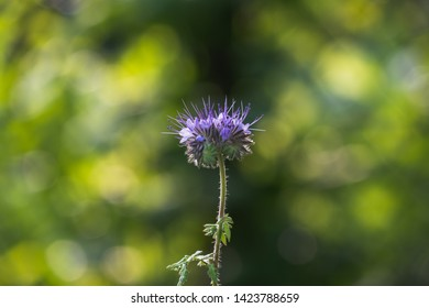 A single Hyssop Blossom. The Purple Calyx of the Flower is in the middle of the Picture. The Background ist Beautiful blurry.