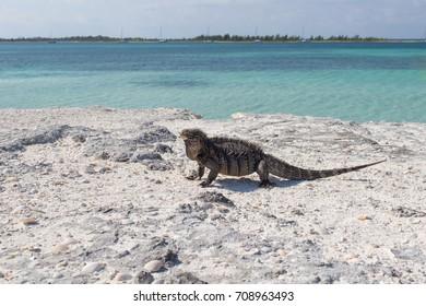 Single iguana on the stone beach.