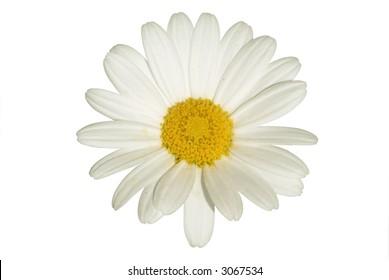 Single isolated daisy.