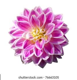 Single isolated pink dahlia flower