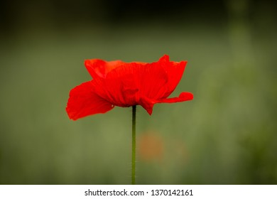 Single and isolated red poppy flower on green background. Pure and clean natural shot. Very delicate and beautiful spring flower.
