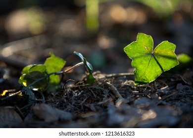 single ivy leaf on earthy ground, the sun shines through it
