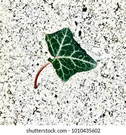 Single Ivy Leaf on White Concrete