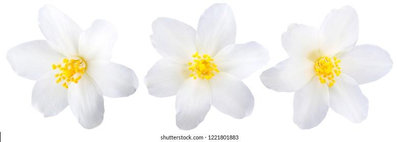 Single jasmine flowers