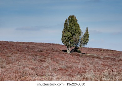 Single juniper in the heath landscape. The Lueneburg Heath Nature Park is home to many rare plants. Particularly typical are the broom heath and the juniper.