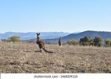 Single kangaroo on Red Hill, surrounded by Brindabella hills. Scenic Canberra.
