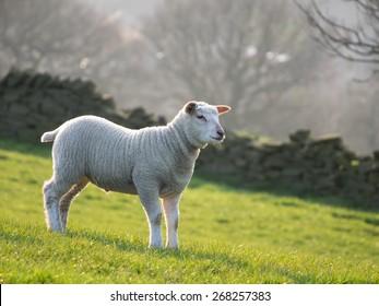 Single lamb in field on hillside, backlit by setting sun behind