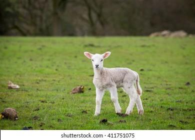 Single lamb standing looking in field