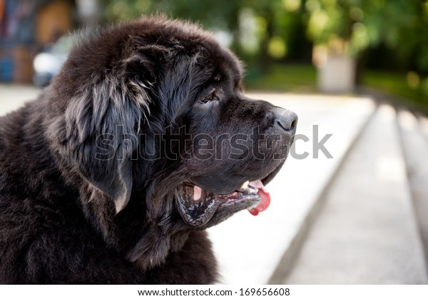 Single large black Newfoundland dog massive broad snout, lonely dog watching, head portrait in profile, animal photo taken in Poland, open air, summertime. Horizontal orientation.