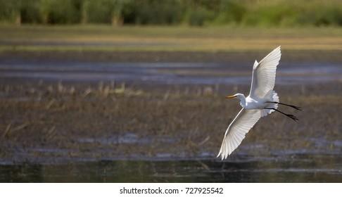 A single large great egret (Ardea alba) in flight over a marsh.