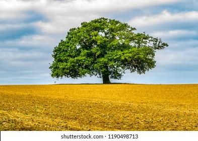 Single Large Oak Tree in Field in Oxfordshire UK
