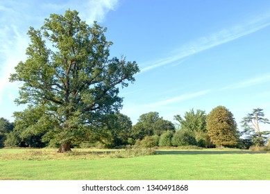 Single large oak tree in a natural woodland park setting with blue summer sky and trees in the background