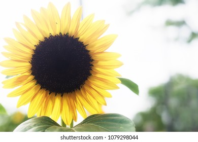 A single large yellow sunflower on a sunny summer day.