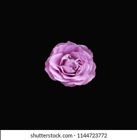 Single Lavender rose centered on a dramatic black background