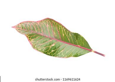 Single leaf Croton isolated on whited background